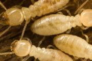 Tratamientos de la madera contra termitas. ¿Termitas en casa?