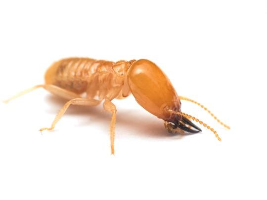 Como saber si tengo termitas.
